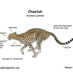 Lion Life Cycle Diagram 2004 F250 Fuse Panel Cheetah