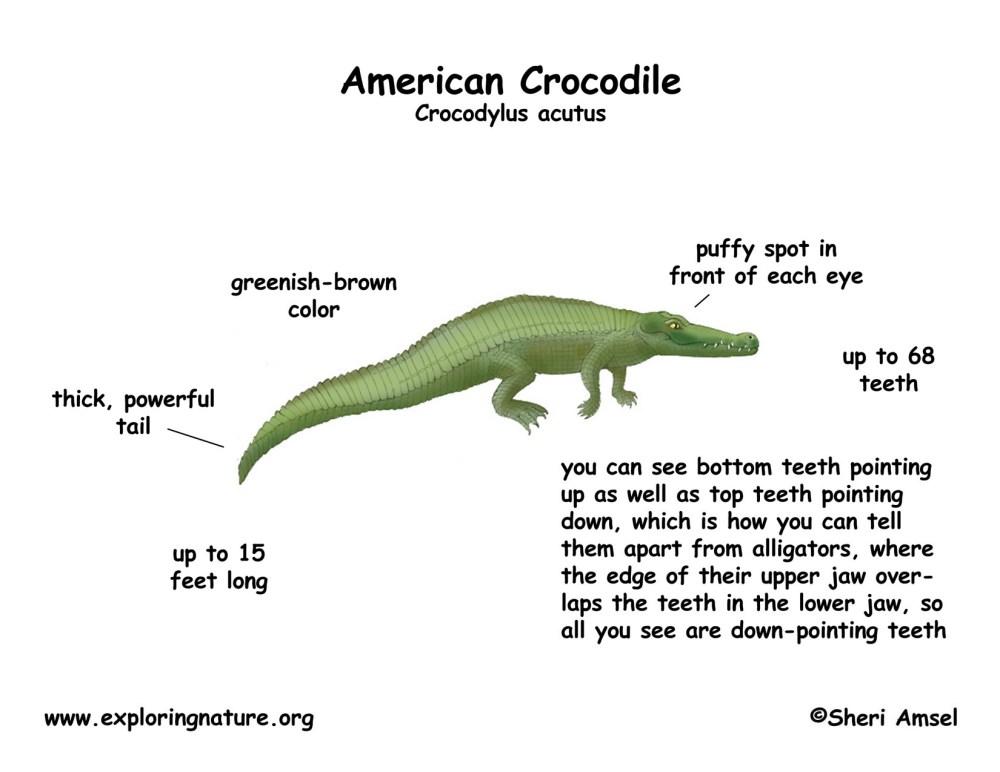 medium resolution of 100 alligator body parts yasminroohi alligator body parts diagram labeled