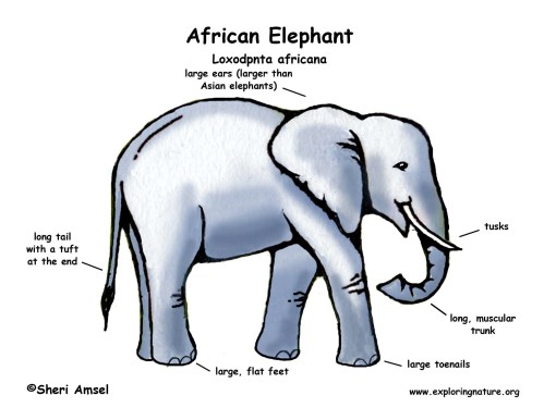small resolution of diagram of elephant schematic wiring diagrams rh 26 koch foerderbandtrommeln de elephant skeleton drawing elephant organ diagram
