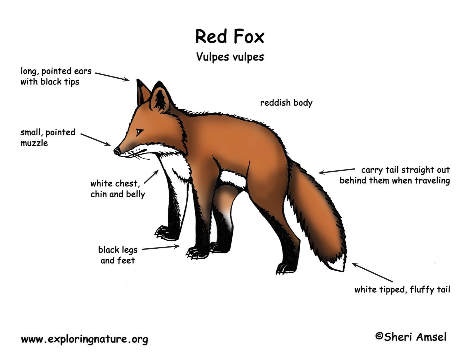 panda life cycle diagram pioneer deh 245 wiring fox red