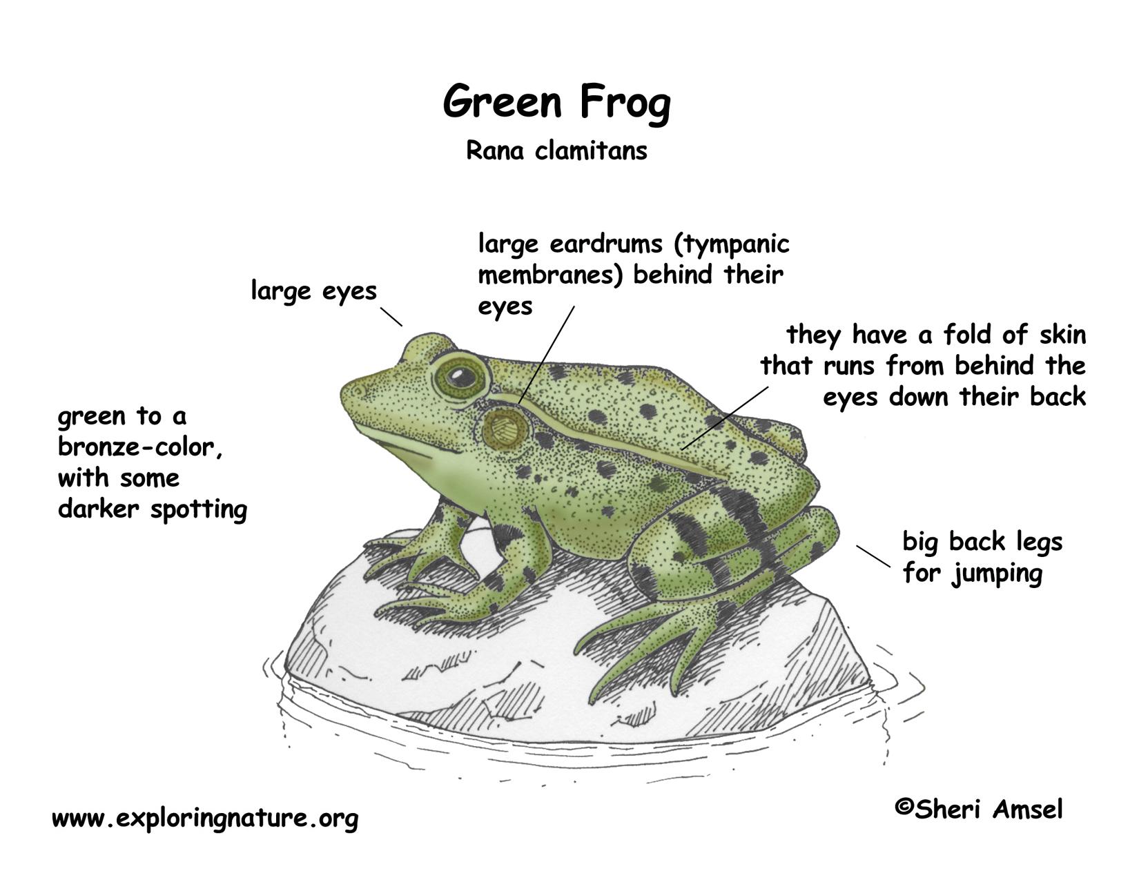 Frog Green