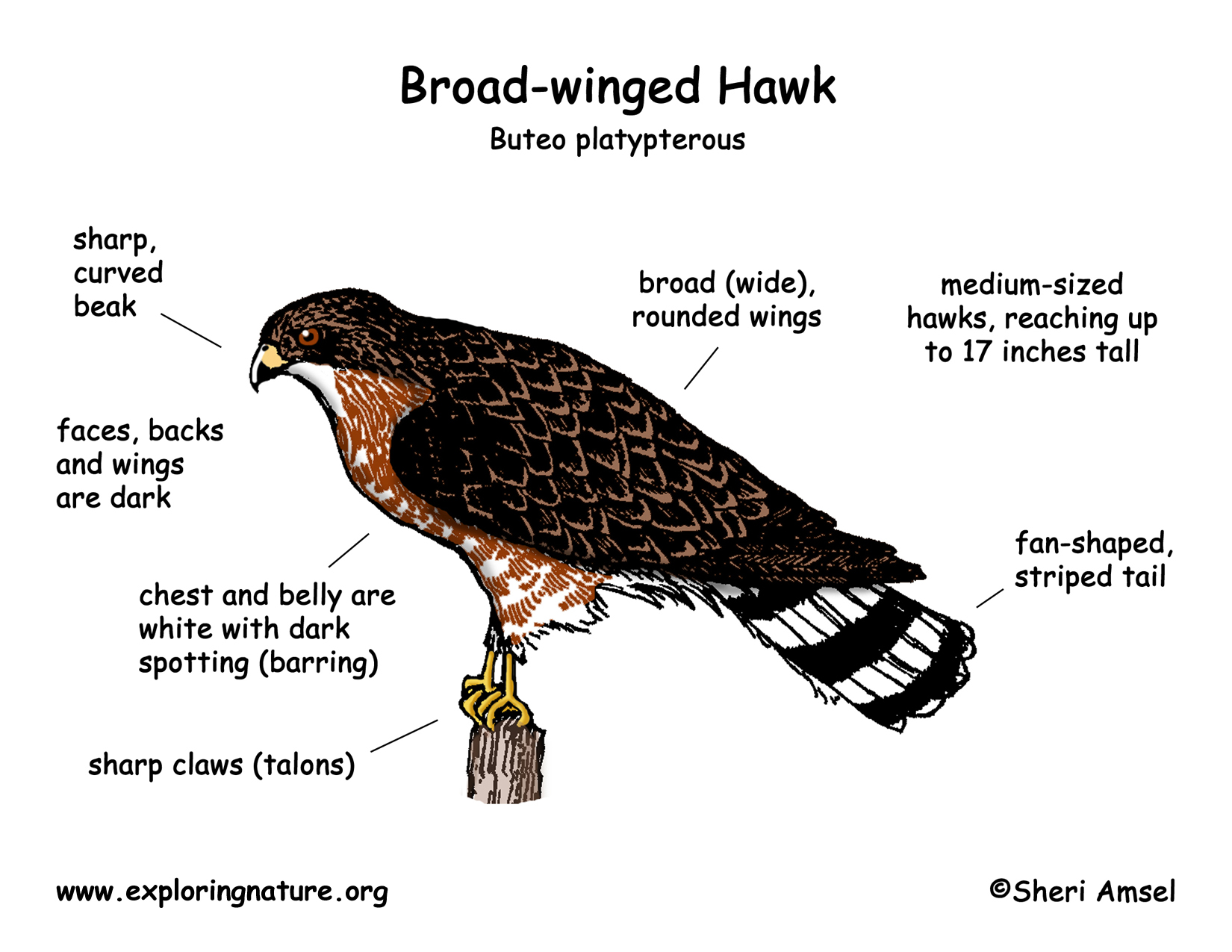 eagle wing diagram wein bridge oscillator circuit hawk broad winged