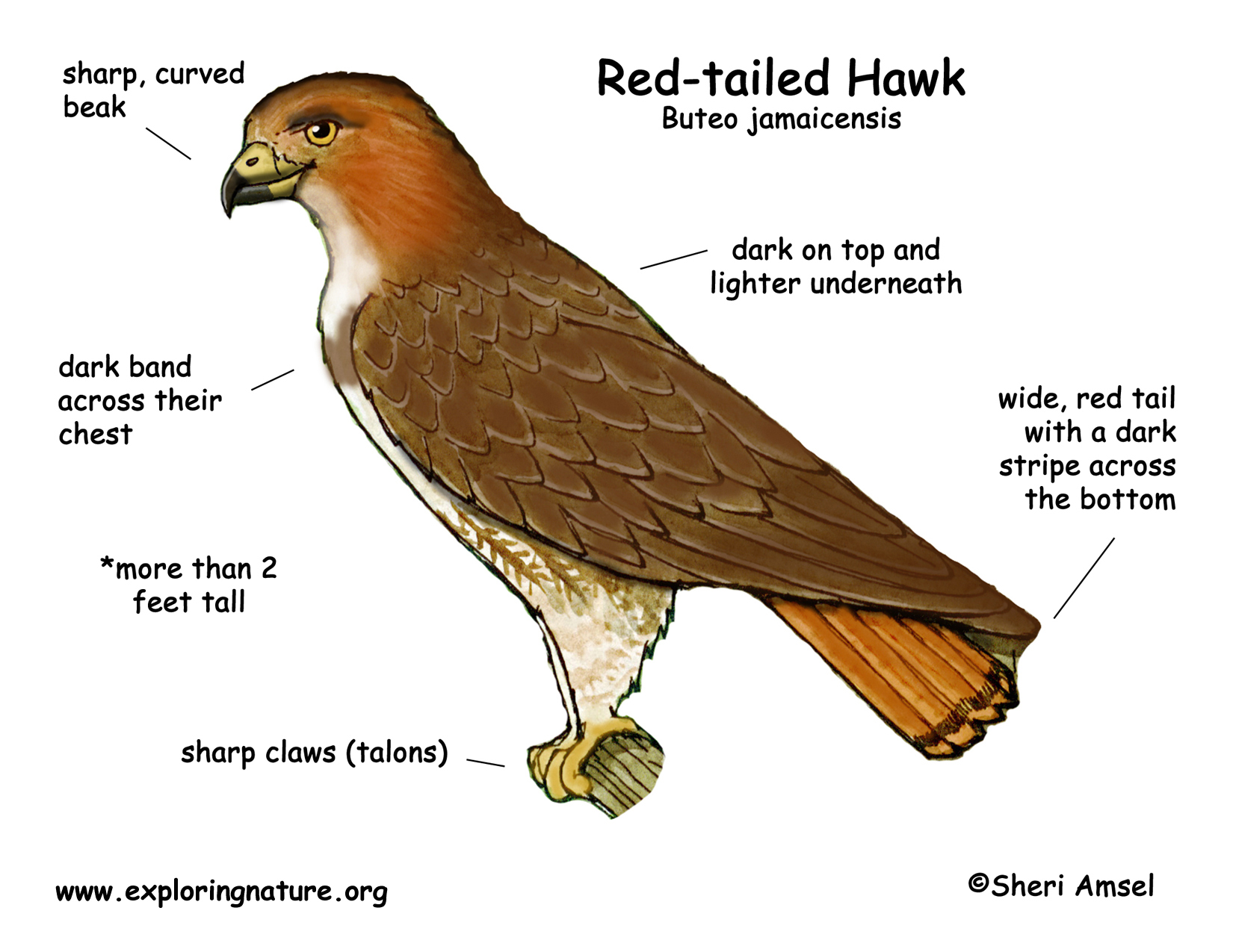 Red Tailed Hawk Coloring Pictures