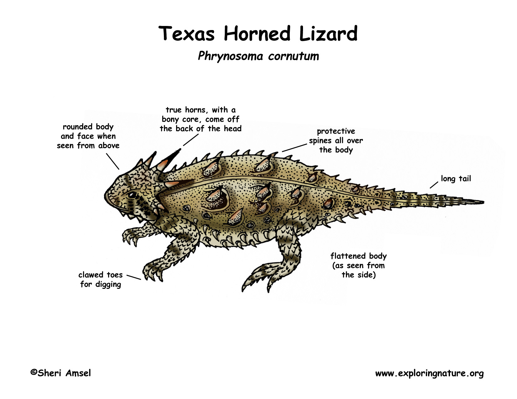 lizard life cycle diagram craftsman dyt 4000 wiring texas horned also called toad