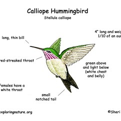 Hummingbird Diagram Of Color Buderus Boiler Wiring Diagrams Calliope Download Hi Res