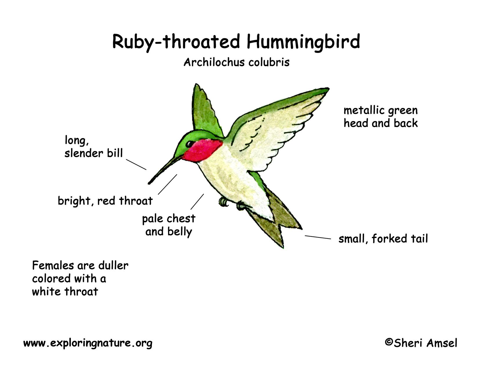Hummingbird Ruby Throated