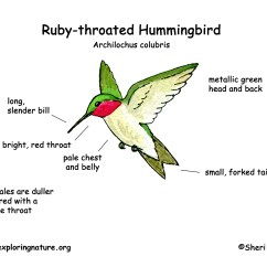 Hummingbird Diagram Of Color Jmstar 150cc Scooter Wiring Anatomy