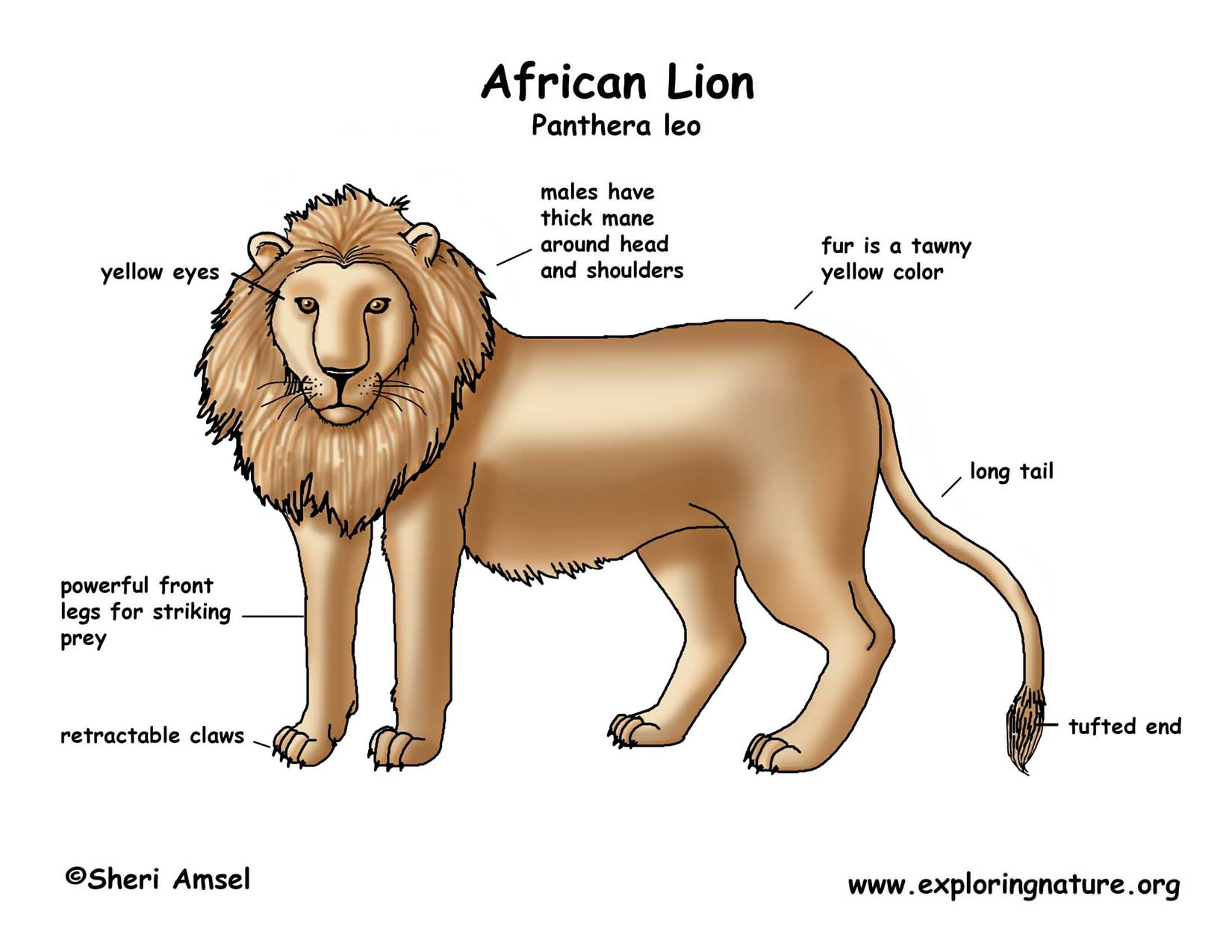 Lion African