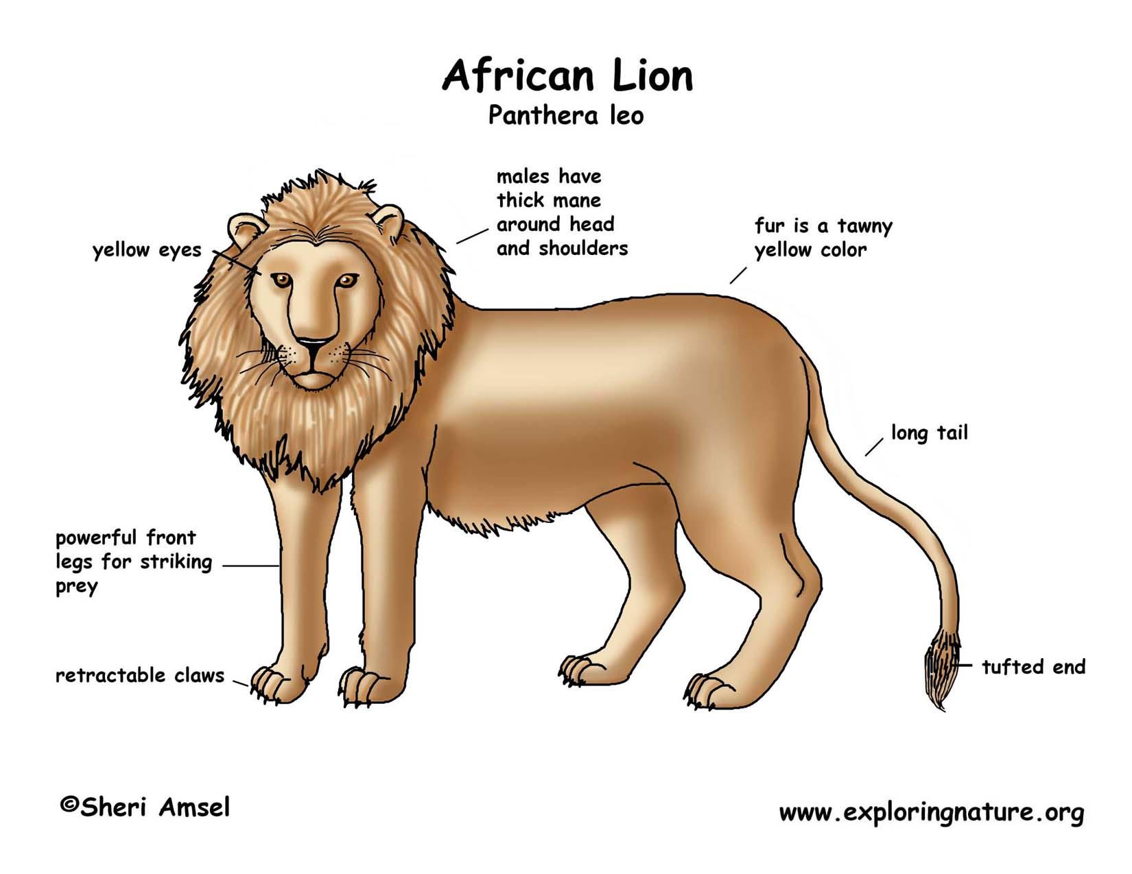 hight resolution of lion african crayfish diagram labeled download hi res color diagram