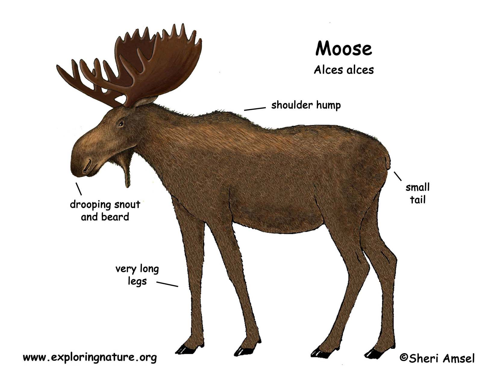 deer kill zone diagram lamona cooker hood wiring moose