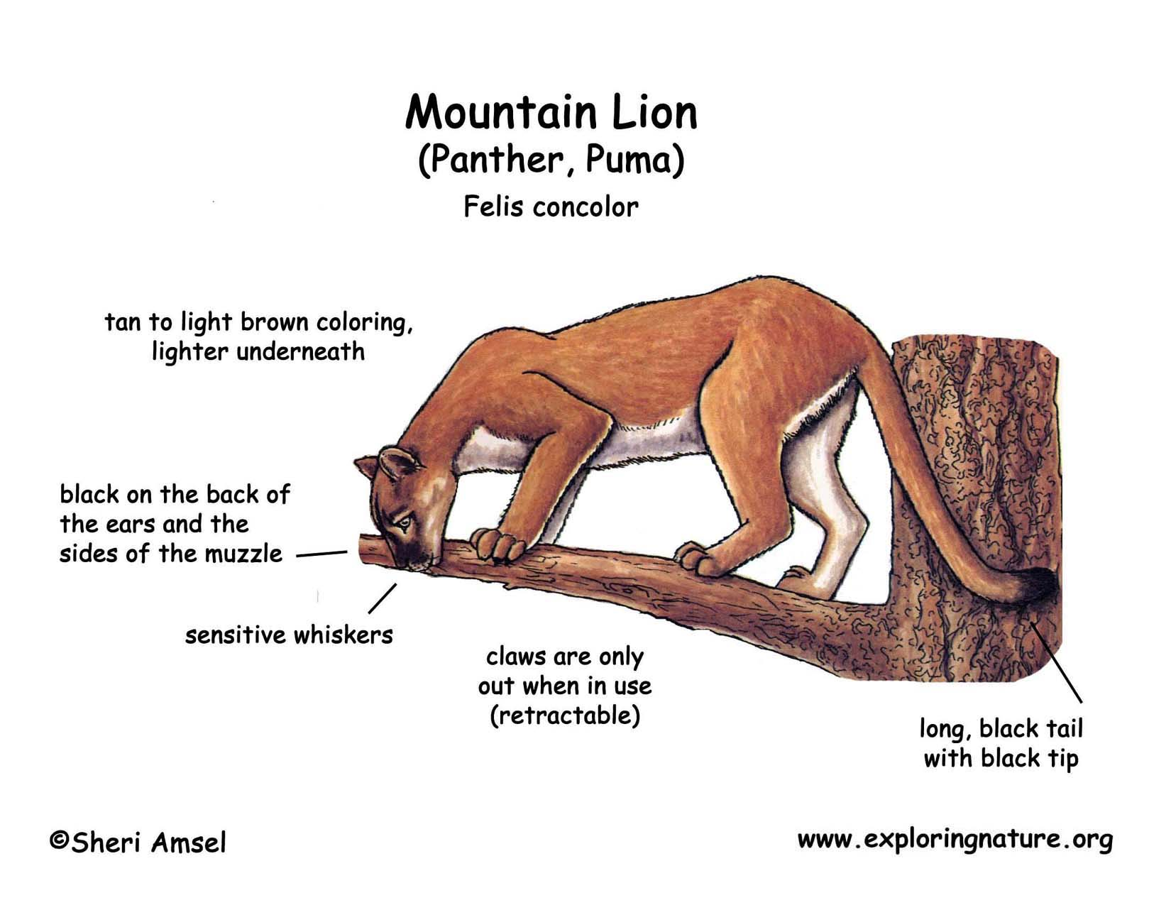 hight resolution of mountain lion diagram