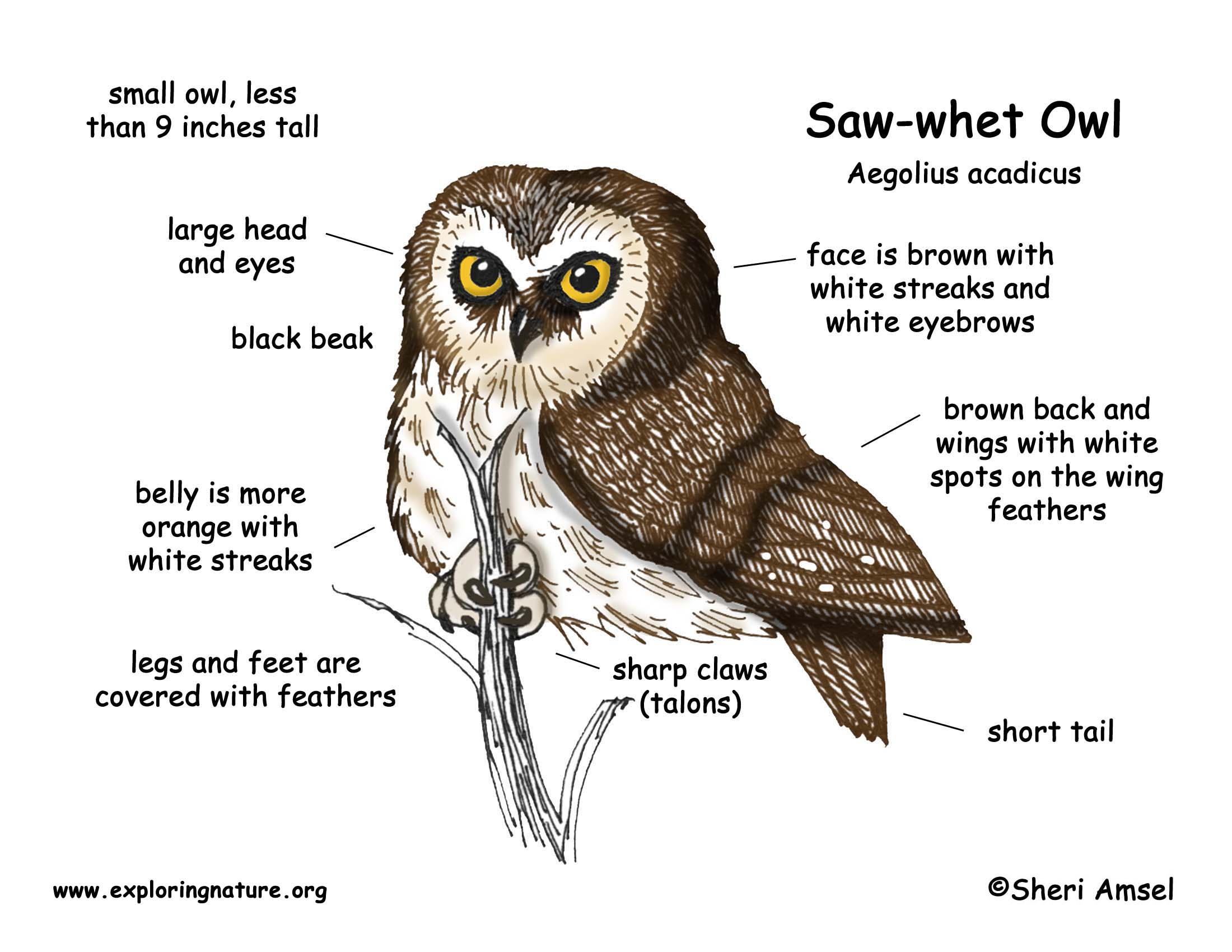 barn owl diagram air suspension wiring ride installation of a sharp beak example electrical