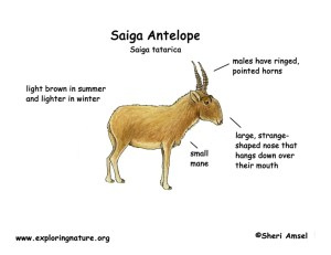 Saiga Antelope Body Diagrams and Habitat Posters
