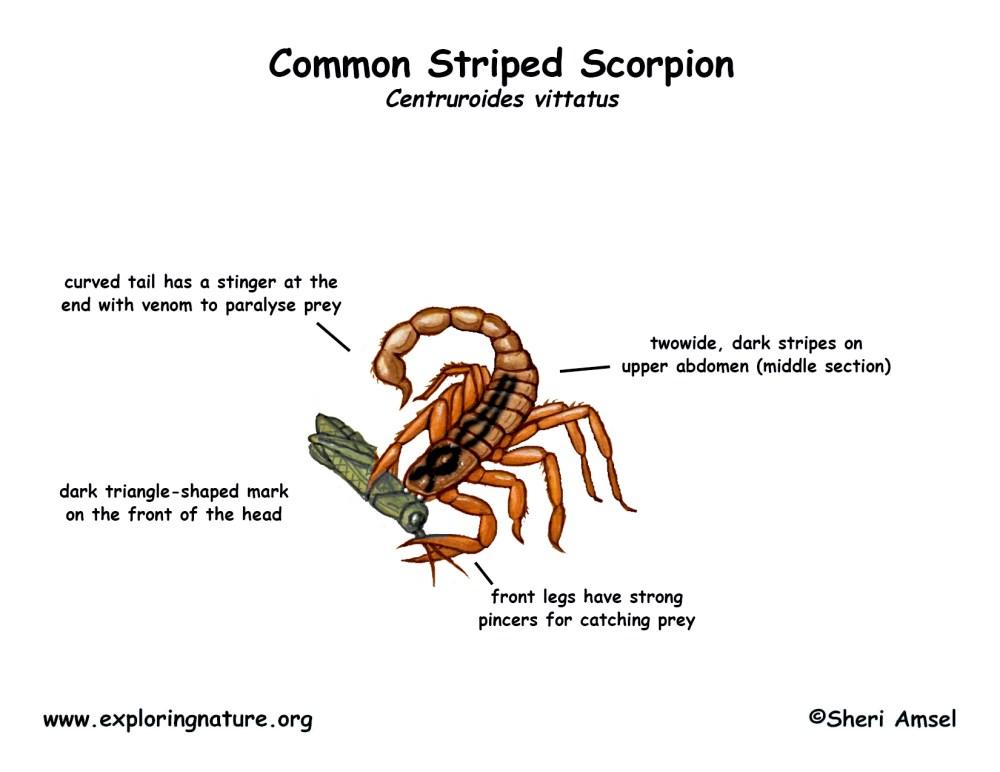 medium resolution of download hi res color diagram scorpion