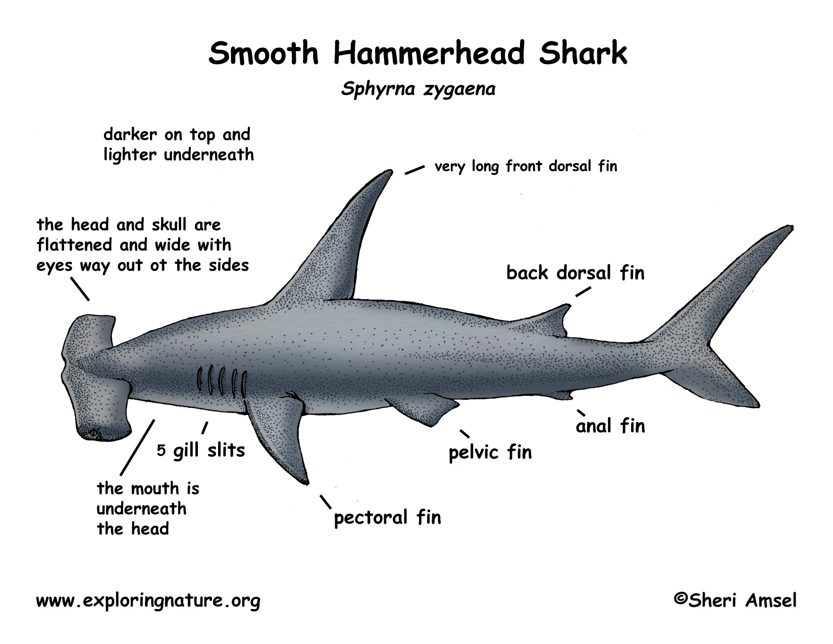 Scalloped Hammerhead Shark Nathanner