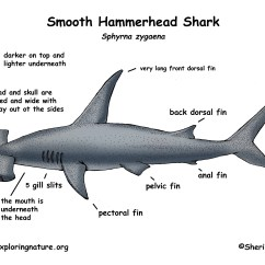 Great White Shark Anatomy Diagram 2003 International 4300 Radio Wiring The Gallery For Gt Hammerhead