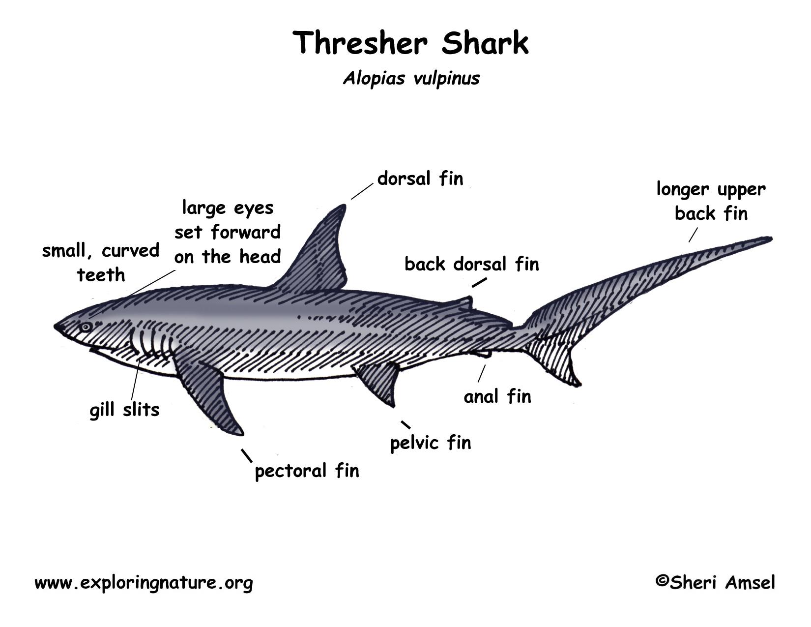 labeled squid external anatomy diagram 1993 chevy silverado fuel pump wiring shark thresher