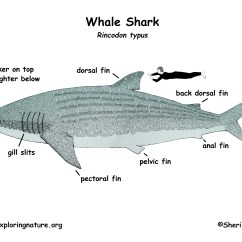 Shark Dissection Guide Diagram 2004 Hyundai Accent Engine Whale