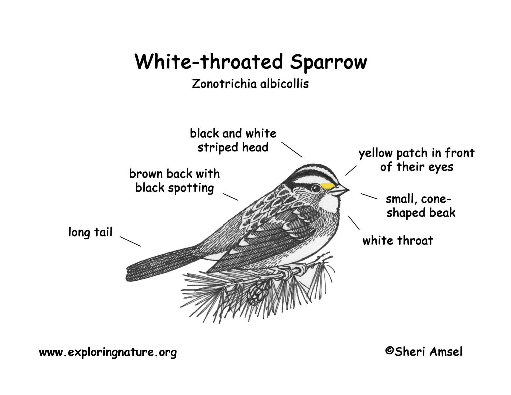 throat diagram front view uk domestic wiring symbols sparrow white throated