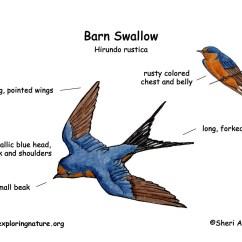 Swallowing Food Diagram Upper Gum Swallow Barn