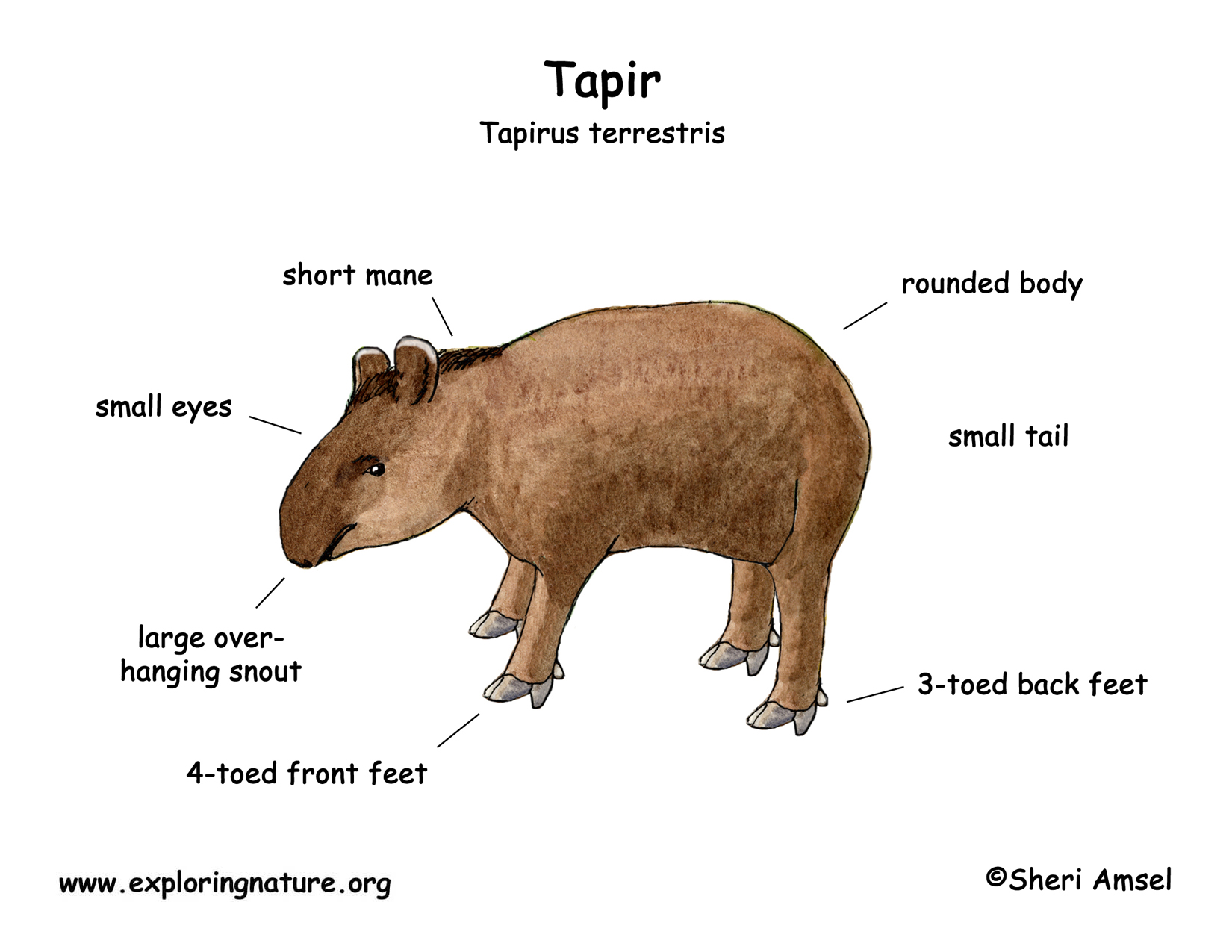 Tapir Mountain Baird S Brazilian Malayan