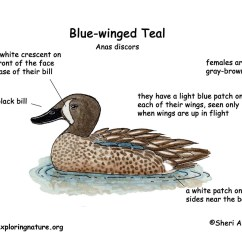 Clipping Duck Wings Diagram 1995 Honda Civic Ex Wiring Blue Winged Teal