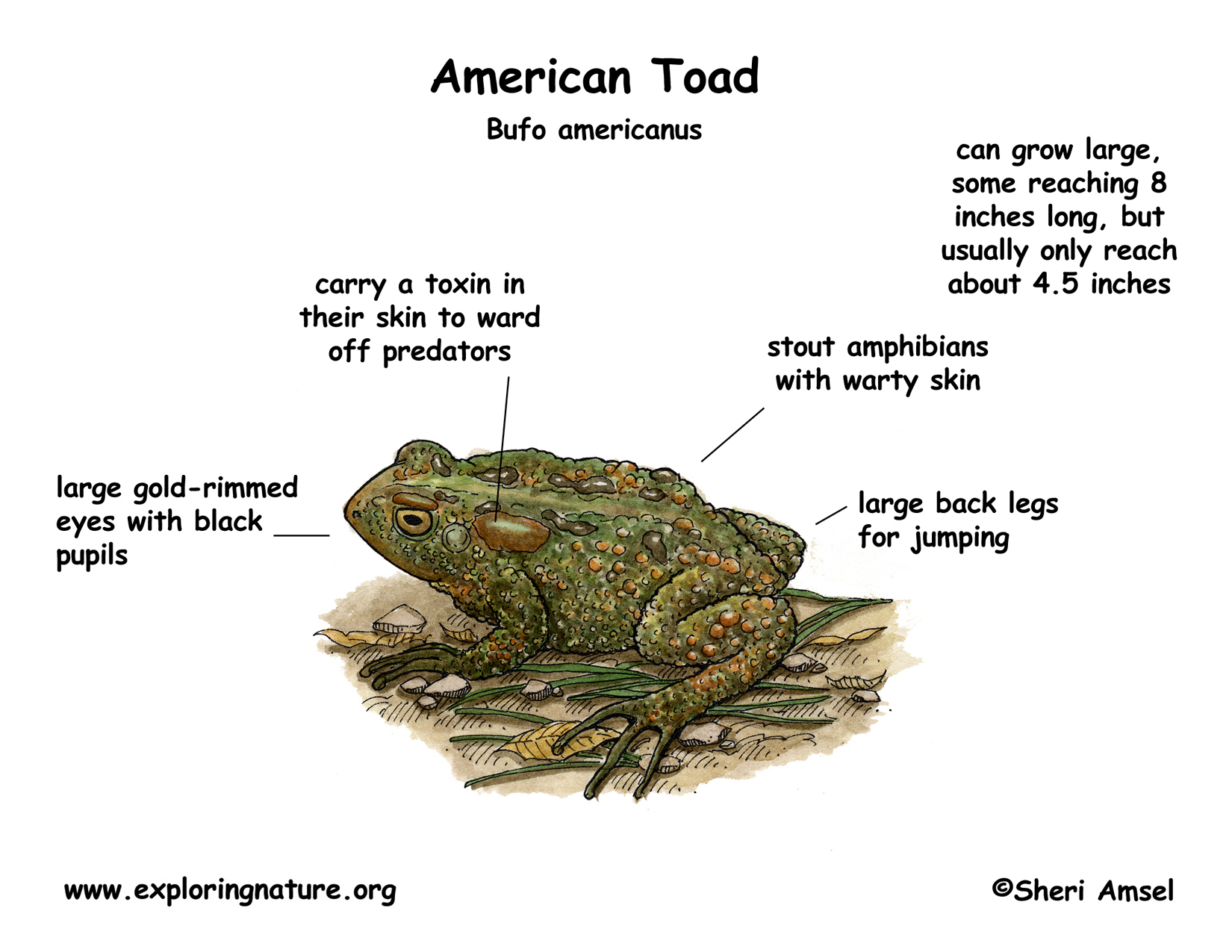 Toad American