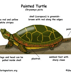 turtle painted turtle anatomy diagram fish diagram [ 1650 x 1275 Pixel ]