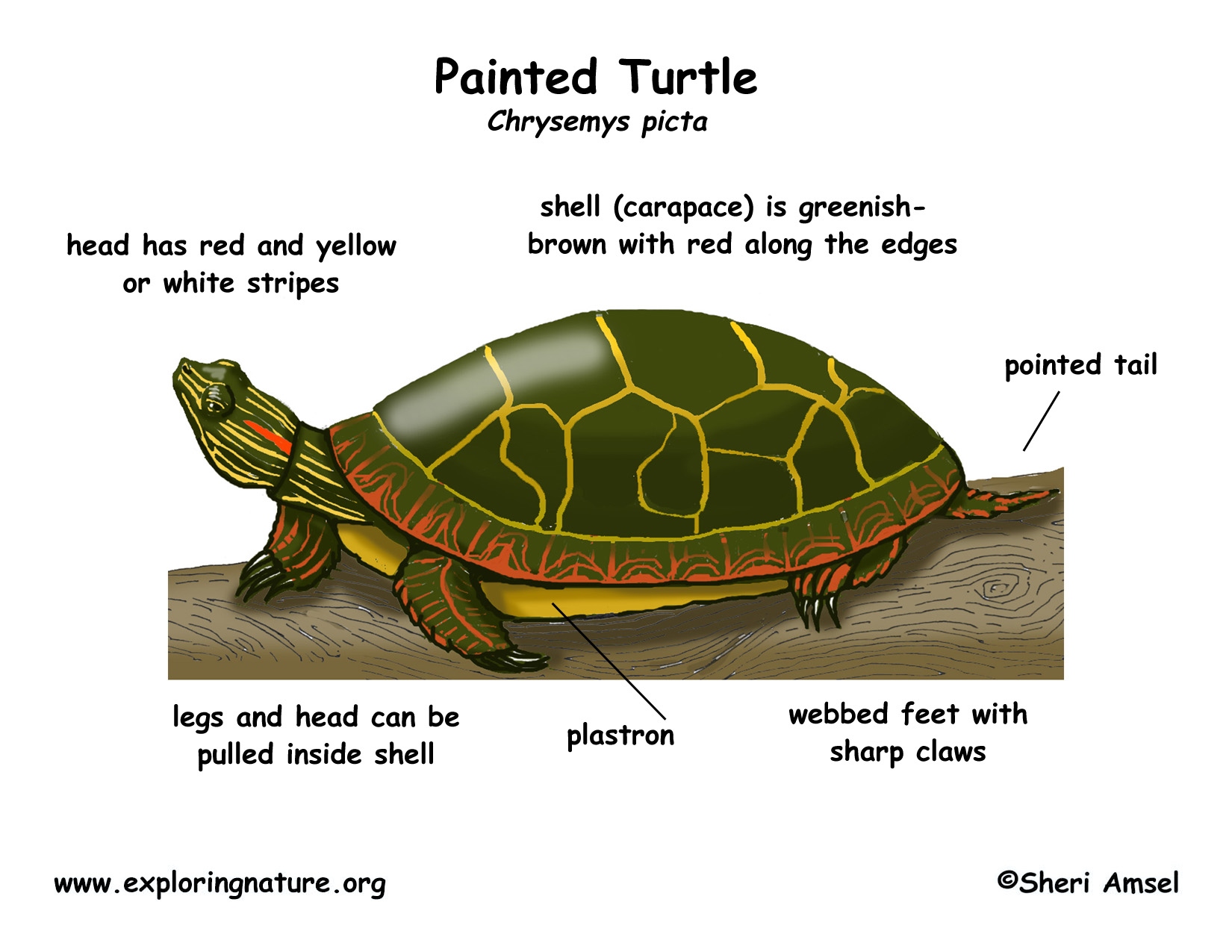 turtle anatomy diagram food plate painted