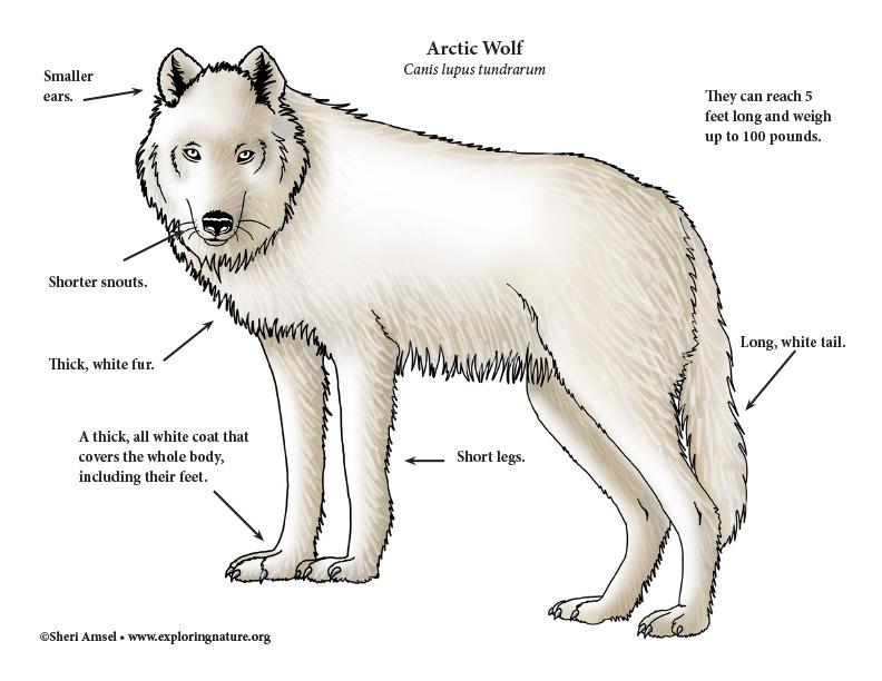 wolf skeleton diagram 7 way trailer plug wiring side anatomy