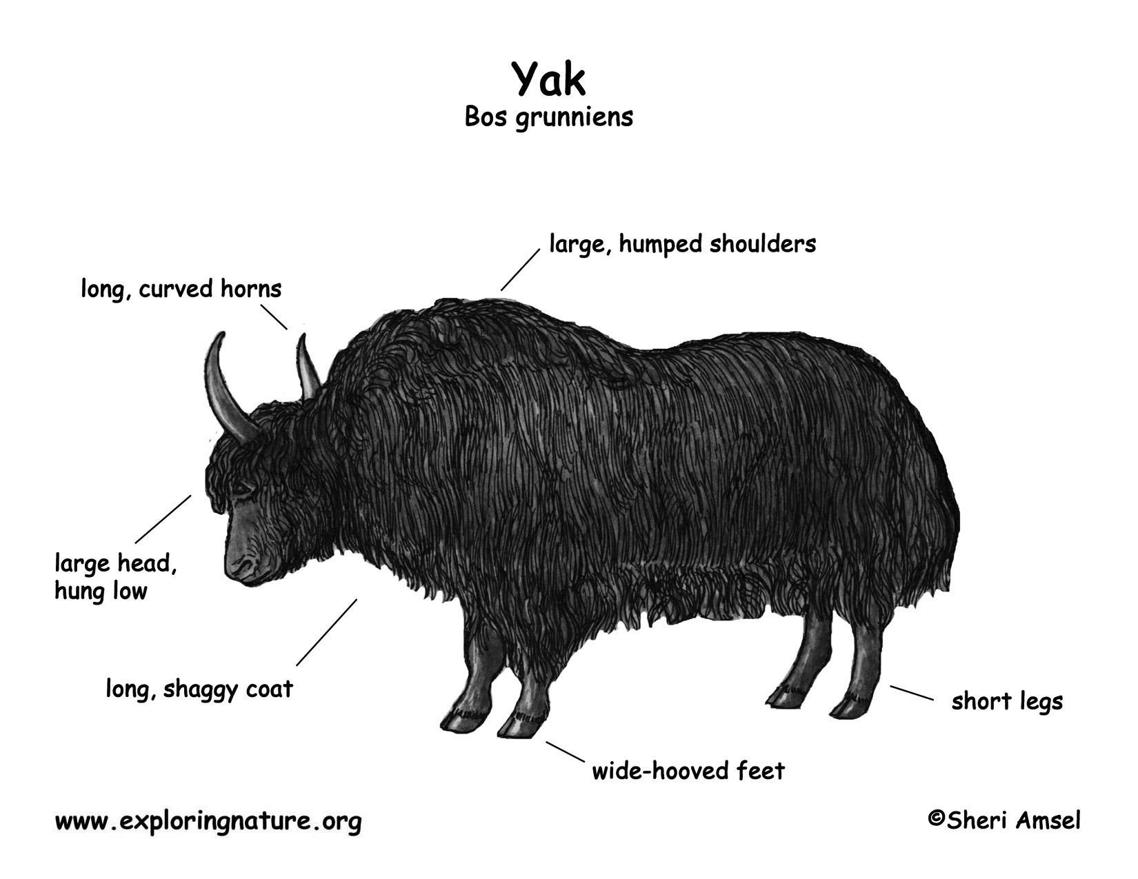 snow leopard anatomy diagram 98 ford contour wiring yak