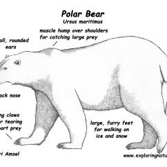 Polar Bear Fur Diagram Ford Externally Regulated Alternator Wiring Images Frompo