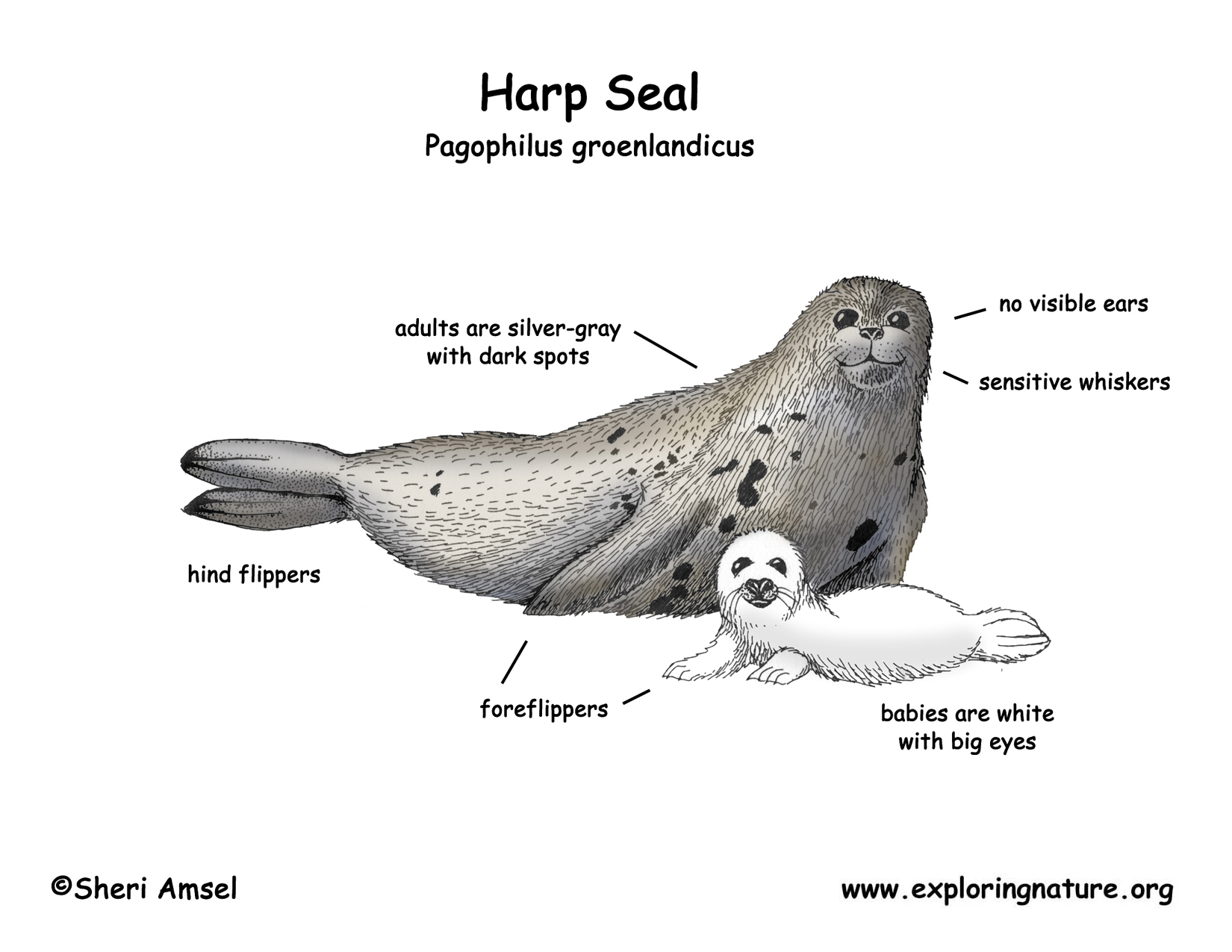 Harp Seal Life Cycle Diagram Sketch Coloring Page