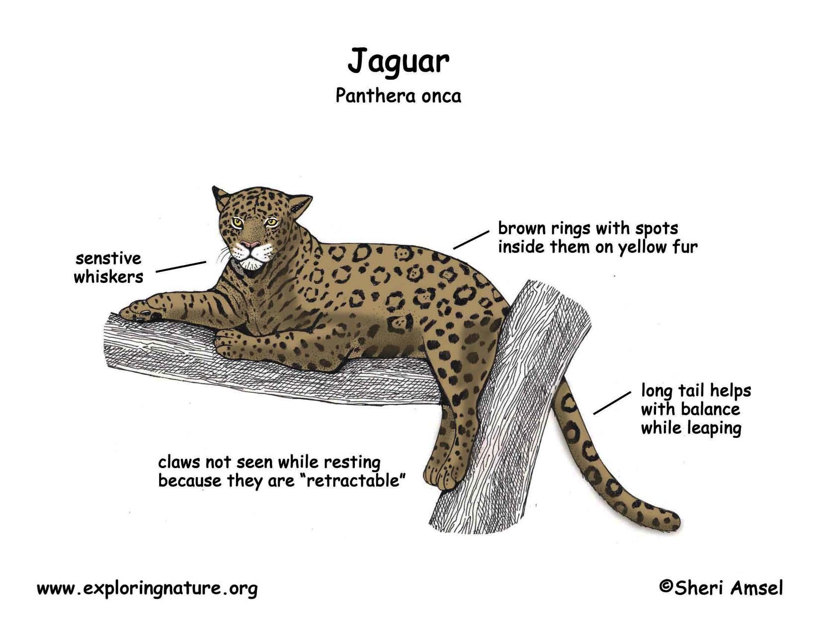 jaguar animal life cycle year of clean water Diagram of Common Bat Diagram Of A Jaguar Animal #14