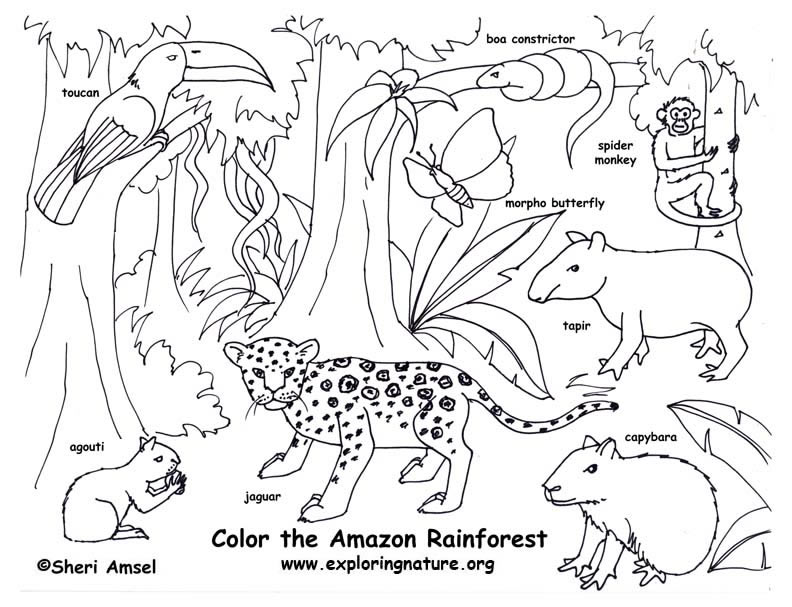 rainforest (amazon) coloring page  exploring nature