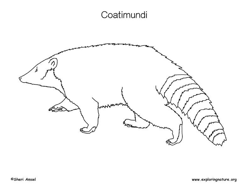 Coatimundi Coloring Page 2
