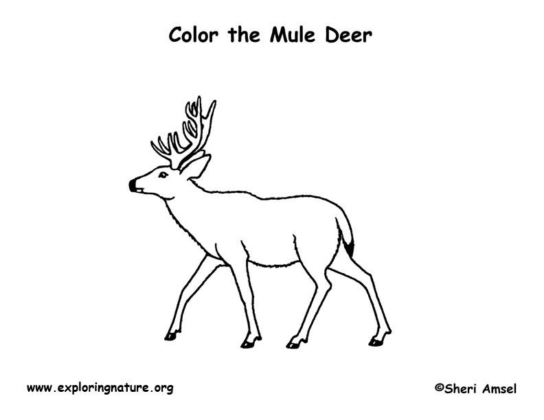 Deer (Mule) Coloring Page