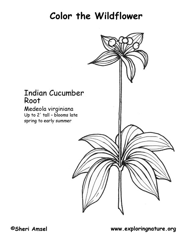 Indian Cucumber Coloring Page