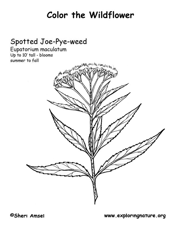 Joe Pye (Spotted) Coloring Page