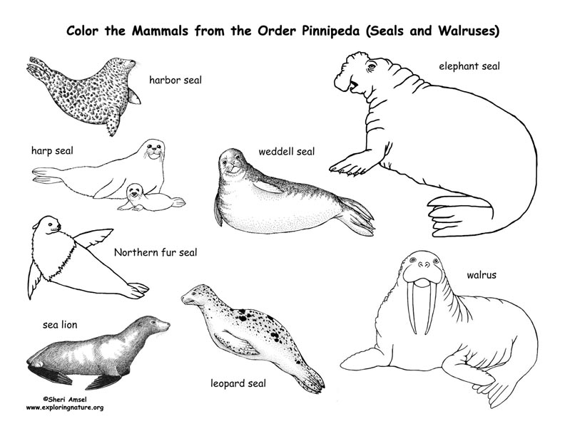 Seals, Sea Lions, and Walrus (Order Pinnipeda) Coloring Page