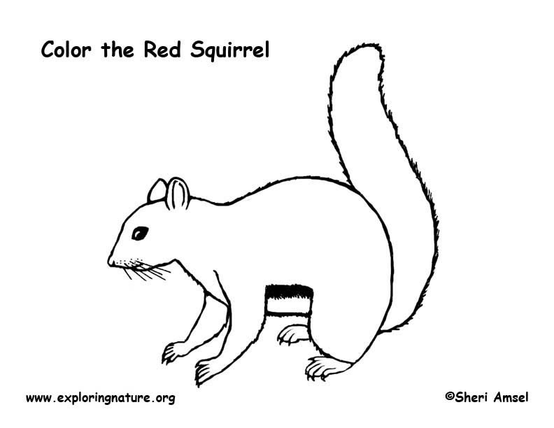Squirrel (Red) Coloring Page