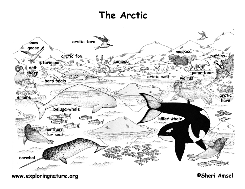Arctic Habitat Coloring Page