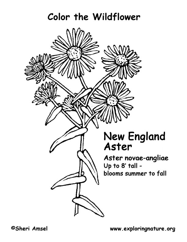 Aster (New York) Coloring Page