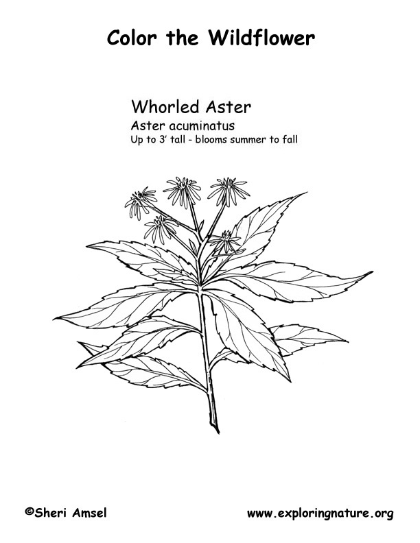 Aster (Whorled) Coloring Page
