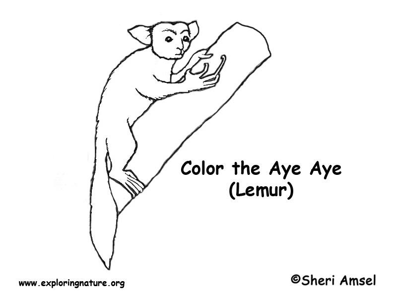 Aye Aye (Lemur) Coloring Page