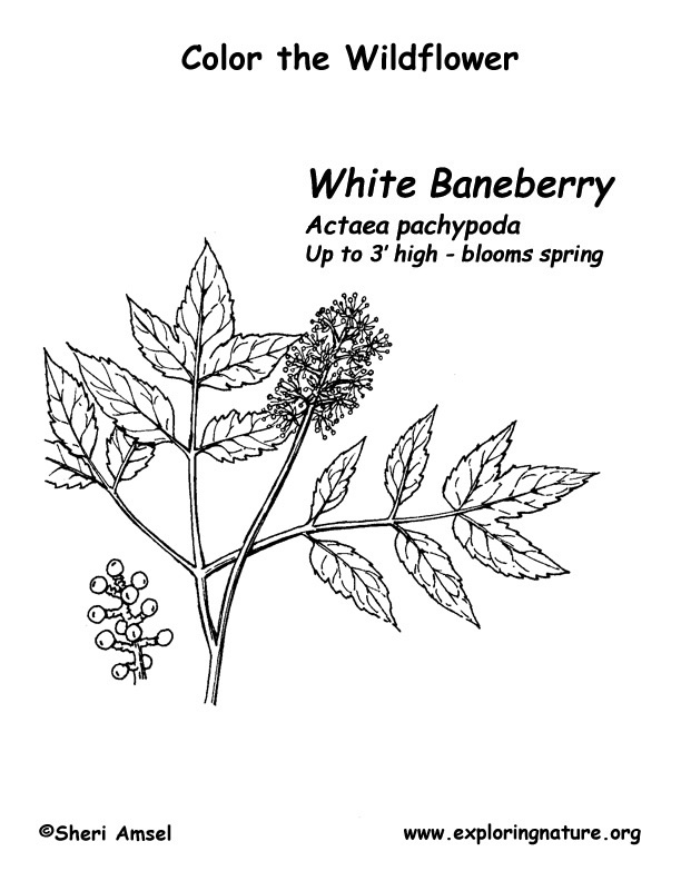 Baneberry (White) Coloring Page