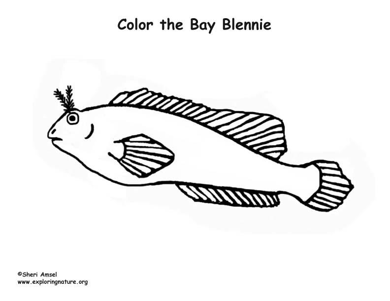 Bay Blennie Coloring