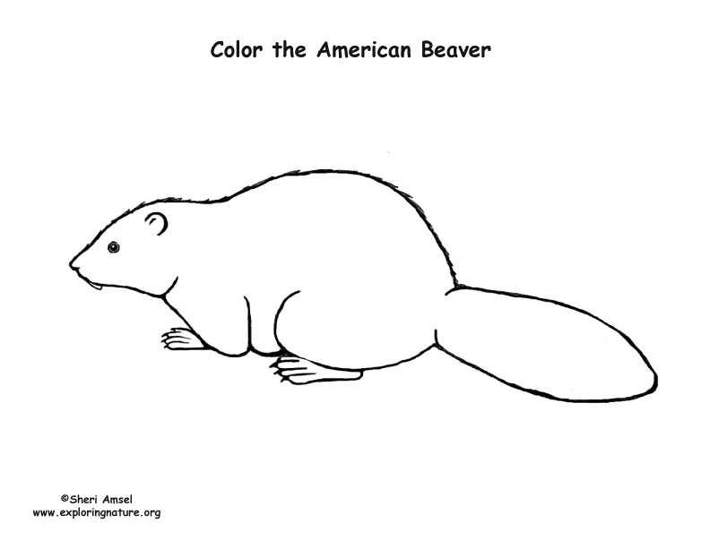 Beaver (American) Coloring Page