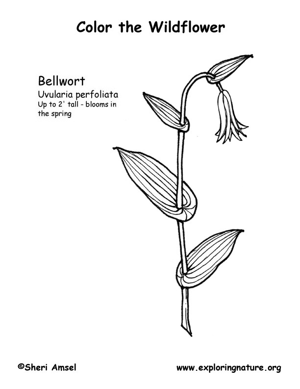 Bellwort Coloring Page