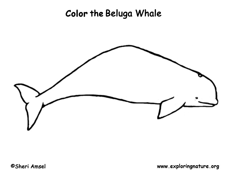 Whale (Beluga) Coloring Page